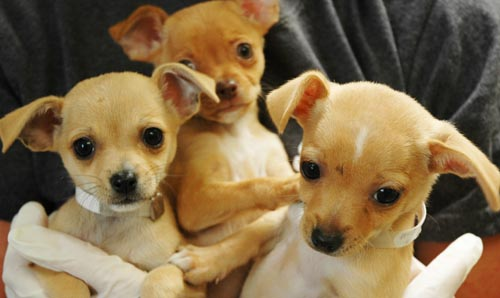 3 Chihuahua sisters